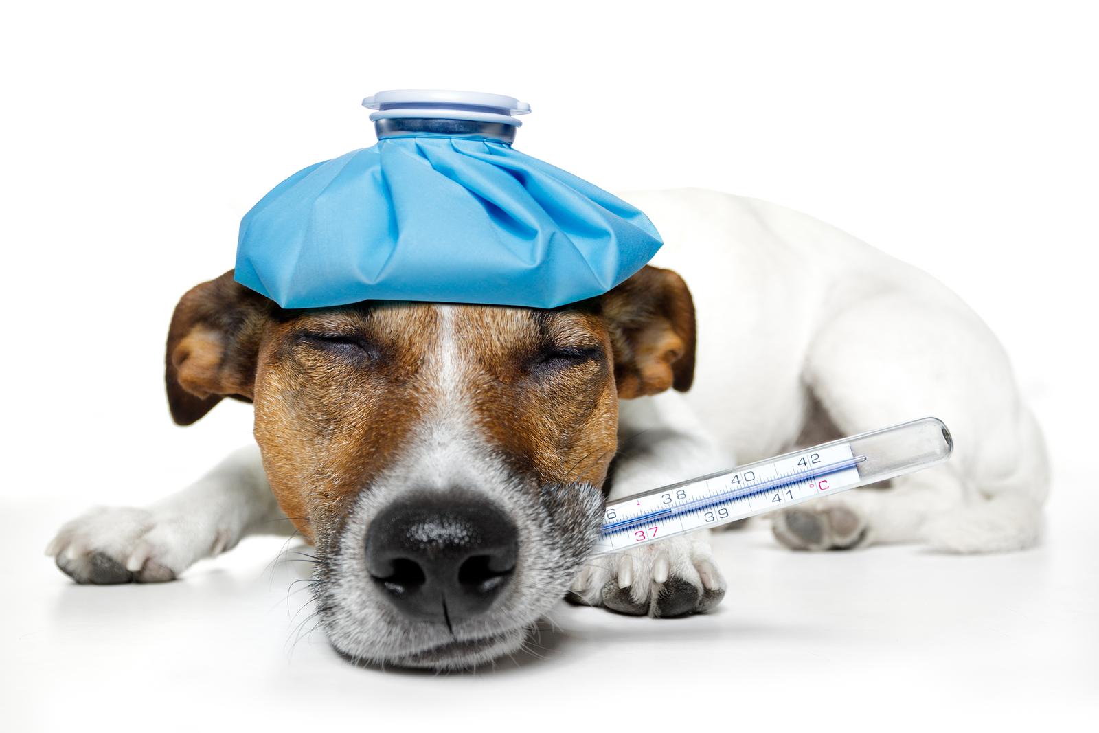 Krmivo na rekonvalescenci psů