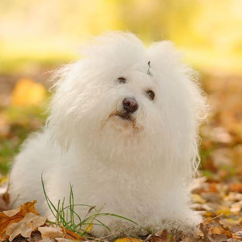 Boloňsky psík