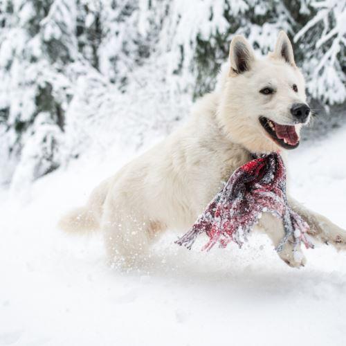 Bílá švýcarský ovčák