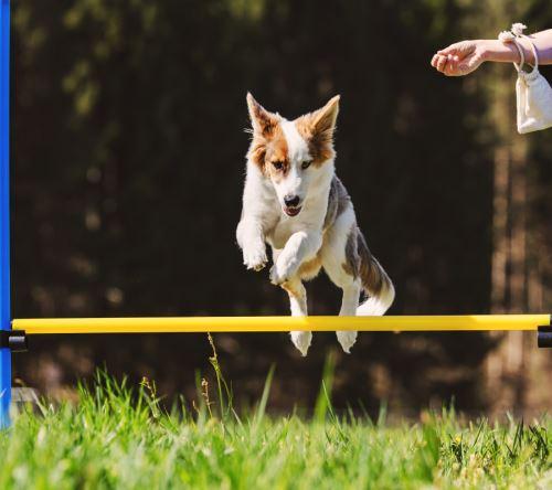 Jak svého pejska efektivně zabavit? Zkuste agility!
