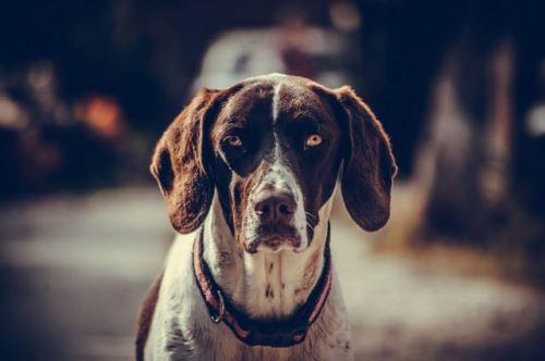 Artóza u psů a jak ji léčit